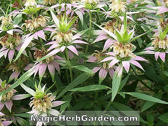 Planter: Monarda (Beauty of Cobham Monarda)