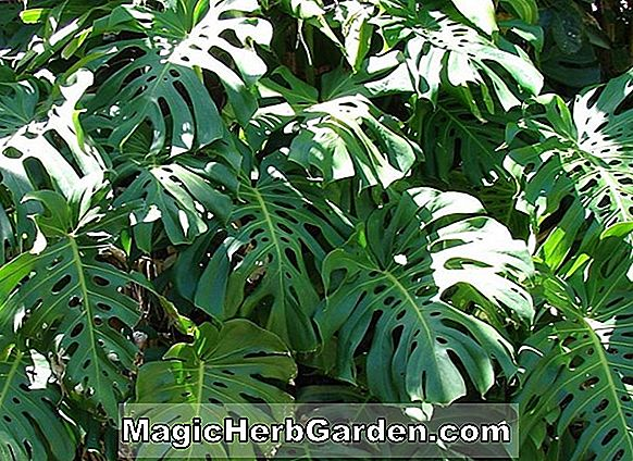 Monstera deliciosa (Split-Leaf Philodendron)