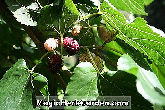 Morus alba (Bellaire 'White Mulberry)