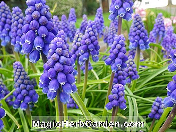 Muscari Armeniacum (Grape Hyacinth)