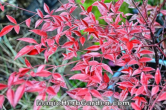 Planter: Nandina domestica (Moyer's Red Nandina)