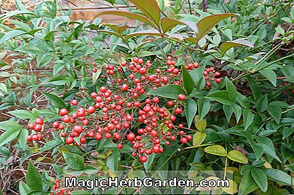 Planter: Nandina domestica (Richmond Nandina)