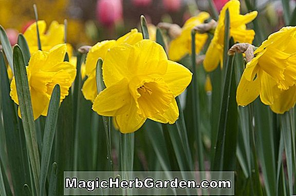 Planter: Narcissus (Camelot Narcissus)