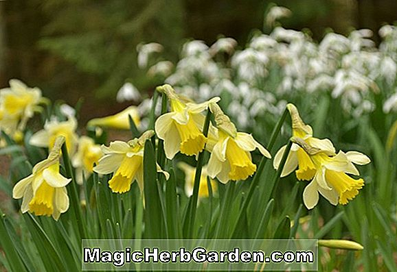 Planter: Narcissus (Changing Colors Narcissus)