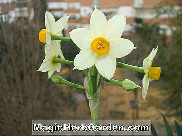 Planter: Narcissus (Christobal Narcissus)