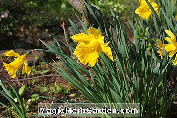 Tumbuhan: Narcissus (Cornish Fire Daffodil)