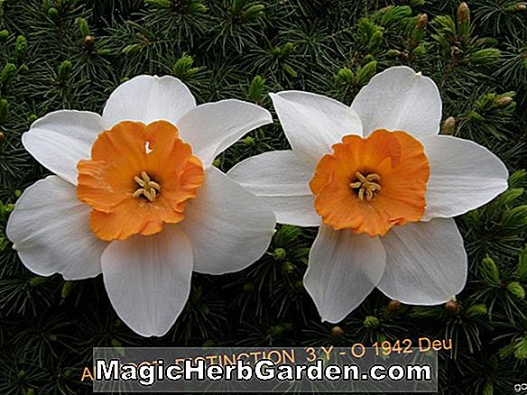 Planter: Narcissus (American Dream Narcissus)