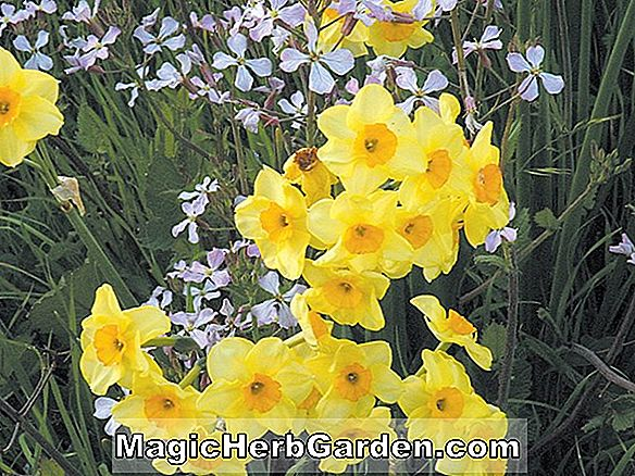 Planter: Narcissus (General Patton Narcissus)