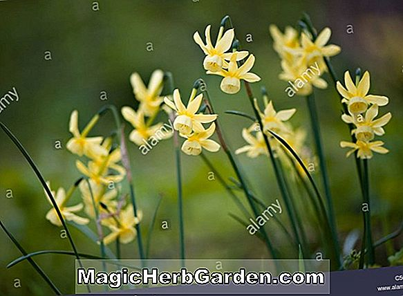 Narcissus (Golden Vale Narcissus)