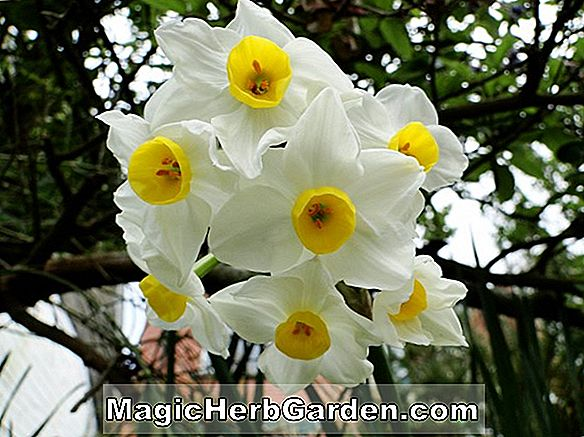 Narcissus (Larkwhistle Narcissus)