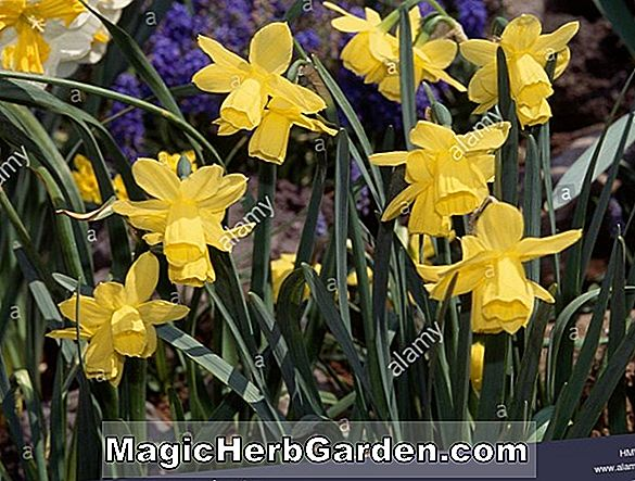 Narcissus (Lemon Beauty Narcissus)