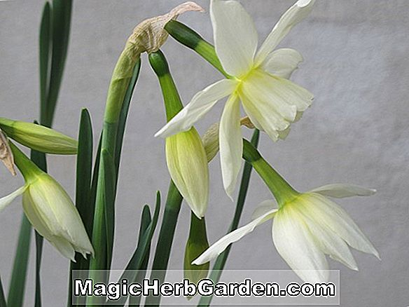 Planter: Narcissus (Little Witch Narcissus)