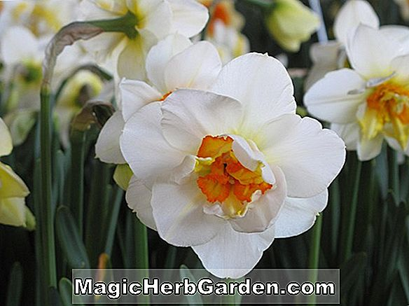 Planter: Narcissus (Loch Hope Narcissus)