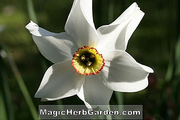 Planter: Narcissus (Meldrum Narcissus)