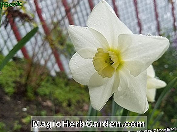 Narcissus (Mount Hood Narcissus)