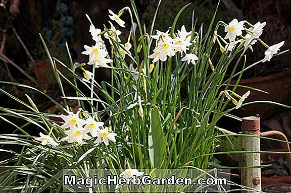 Narcissus (Park Springs Narcissus)
