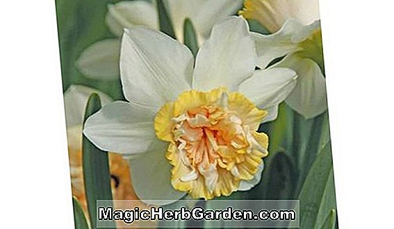 Planter: Narcissus (Pink Champion Narcissus)