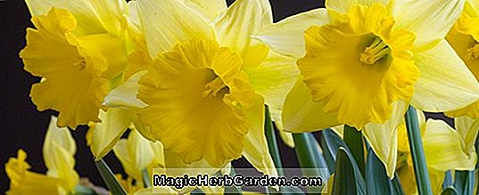 Planter: Narcissus (Rijnvelds Early Sensation Narcissus)