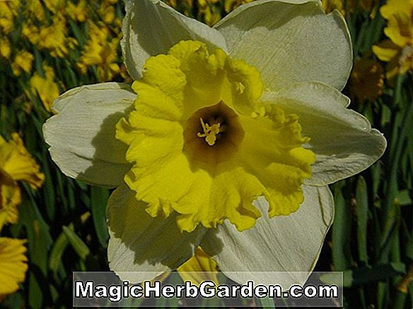 Narcissus (Salome Narcissus)