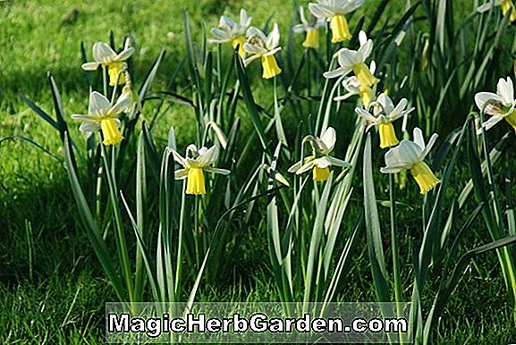 Planter: Narcissus (Surfside Narcissus)
