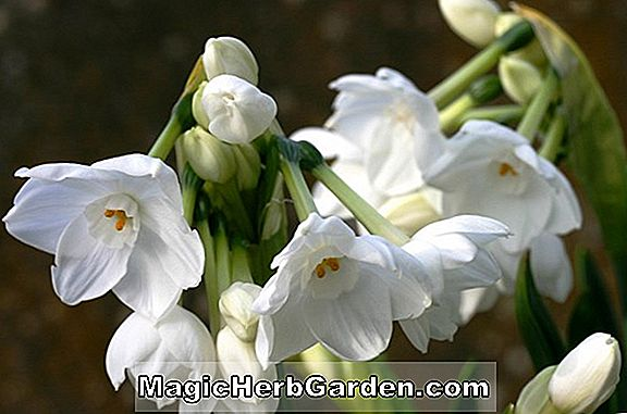 Planter: Narcissus (Woodland Star Narcissus)