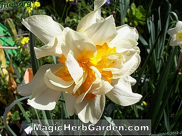Narcissus (Flower of Record Narcissus)