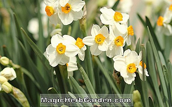 Narcissus tazetta (Martha Washington Påskelilje)