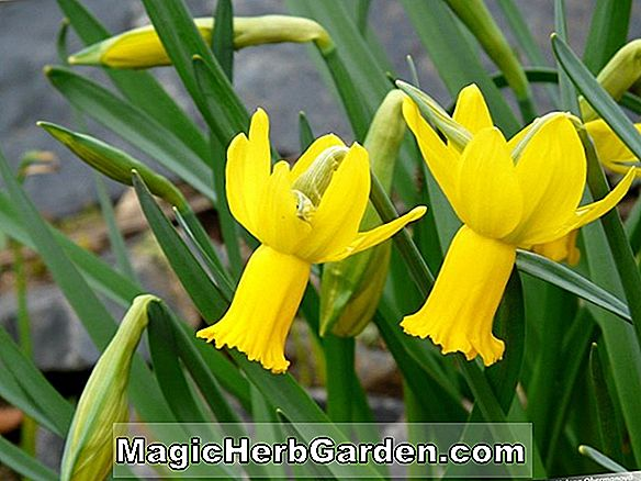 Narcissus cyclamineus (Charity May Daffodil)