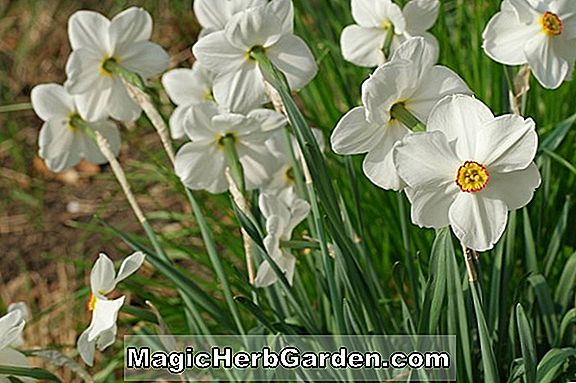 Narcissus poeticus (Winifred Van Graven Daffodil)