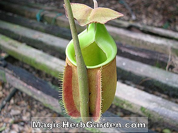 Nepenthes (Monkey Cup)