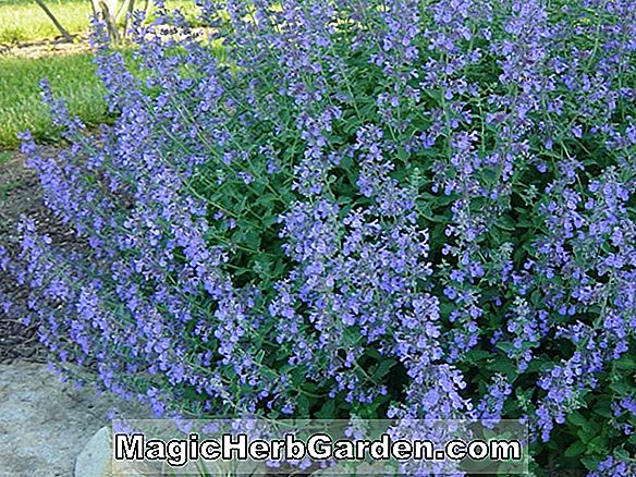 Nepeta faassenii (Cat Mint)