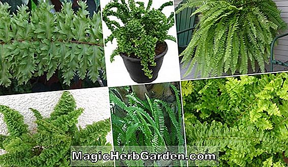 Nephrolepis exaltata (Compact Boston Fern) - #2