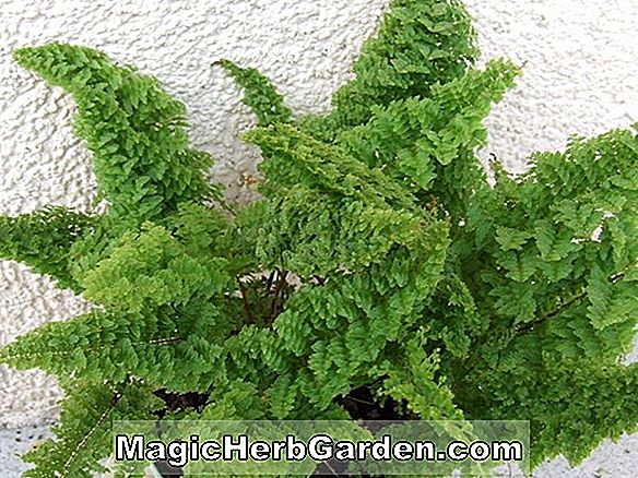 Nephrolepis exaltata (Golden Boston Fern)