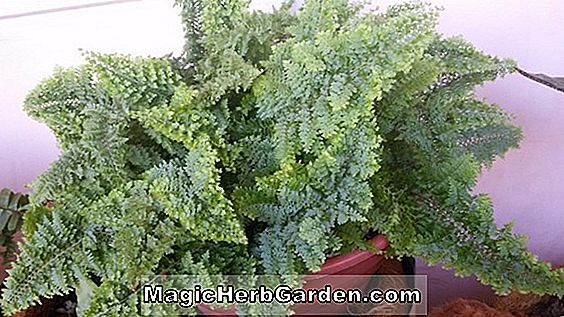 Nephrolepis exaltata (Mini Ruffle Sword Fern) - #2