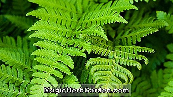 Nephrolepis exaltata (New York Sword Fern)