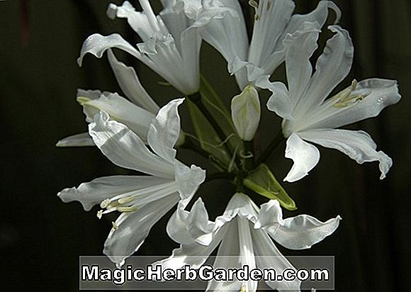 Nerine (Nerine Fothergillii Major)