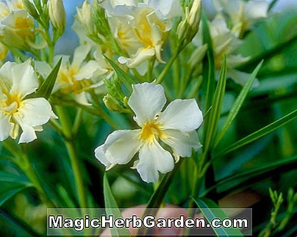 Nerium oleander (Hawaii)