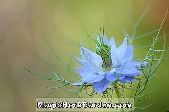 Nigella Damascena (Devil-in-a-Bush)