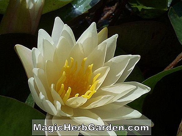Nymphaea (Smithiana Tropical Water Lily)