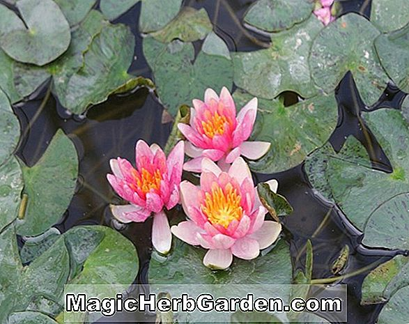 Nymphaea (Frau George C. Hitchcock Waterlily)