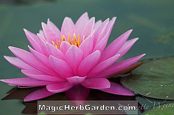 Nymphaea (Tina Tropical Water Lily)