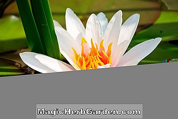 Planter: Nymphaea (Trudy Slocum Waterlily)