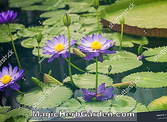 Nymphaea (Violet Tropical Water Lily)