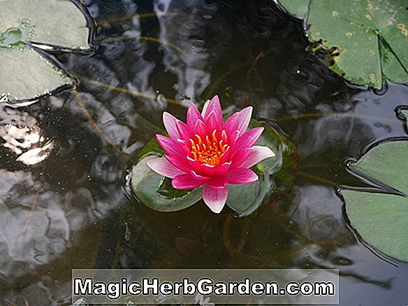 Nymphaea (Virginia Grossi tropische Seerose)