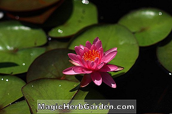 Planter: Nymphaea (Virginia Water Lily)