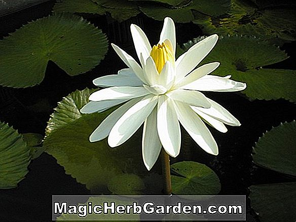 Nymphaea (Woods White Knight Tropical Water Lily)