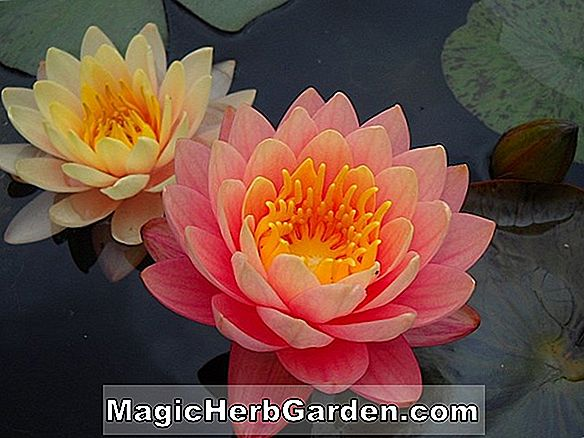Nymphaea (Carolina Sunset Waterlily)