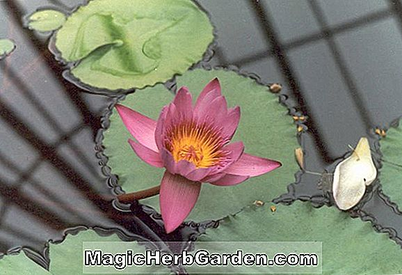 Nymphaea (Caroliniana Perfecta waterlily)