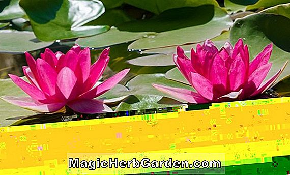 Nymphaea (Escarboucle Water Lily)