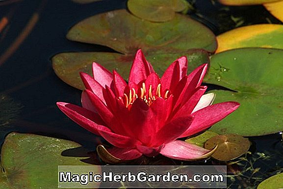 Plantes: Nymphaea (Albert Greenberg)
